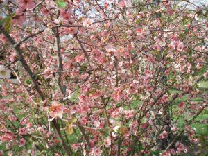 pink-flower-bush1